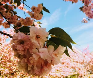 blossoms, blue sky, and pink image