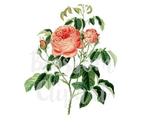 etsy, antique roses, and vintage flower image
