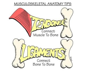 ligaments image