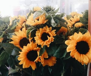 sunflowers, flowers, and yellow image