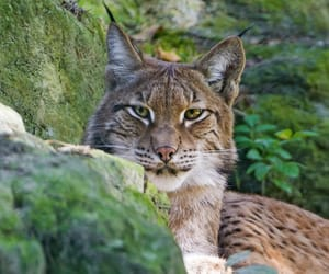 Animales, lince, and belleza image
