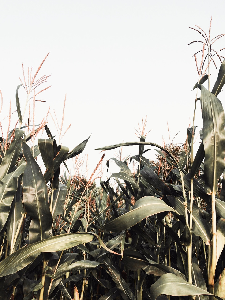 Corn Fields Hq Porn Search