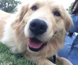 dog, golden, and love image