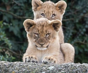 animals, lions, and cute image