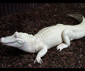 albino, crocodile, and white animals image