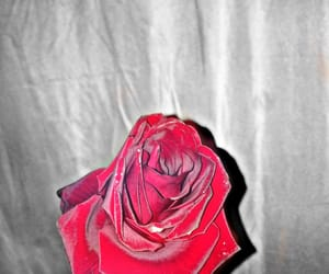 black&withe, rose, and flor image