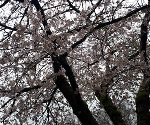 aesthetic, blossoms, and pale image