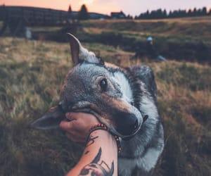 wolf, dog, and animal image
