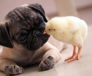 animal, dog, and pug image