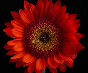 colorful, sunflowers, and flowers image