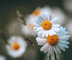 macro photography, white flowers, and daisy flowers image