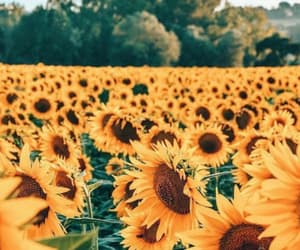 sunflower, flowers, and photography image