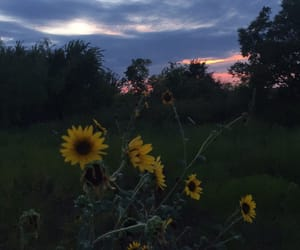 nature, sunflowers, and sunset image