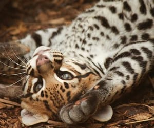 animal, nature, and ocelot image
