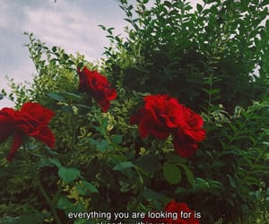quotes, rose, and red image