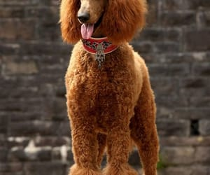poodle and Standard image