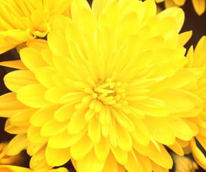 autumn, yellow, and mums image