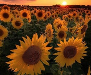 flowers, sunflowers, and sunset image