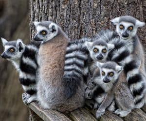 Animales, lemur, and naturaleza image