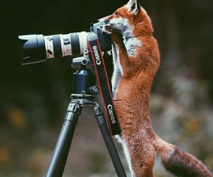 fox, animal, and camera image