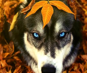 eyes husky image
