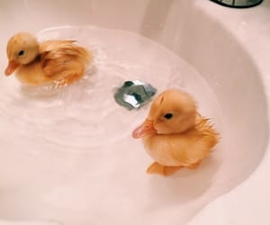 duck, animal, and cute image