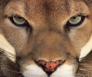 animal, eyes, and puma image