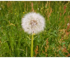 dandelion, flower, and grass image