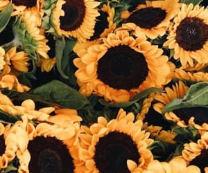 sunflower, yellow, and tumblr image