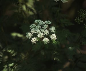 nature, plants, and queen anne's lace image