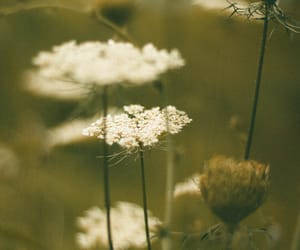 nature photography, plants, and queen anne's lace image