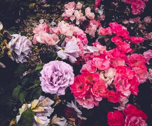 flowers, nature, and rose image