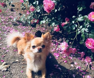 chihuahua, flowers, and long image
