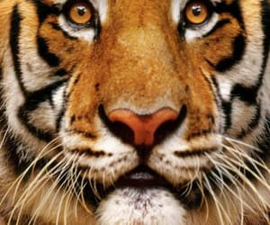 Animales and tigre image