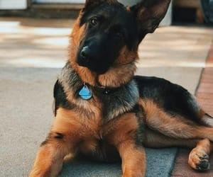 canine, dog, and german shepherd image