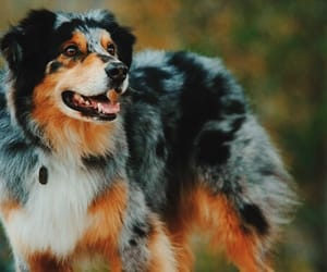 australian shepherd, black, and dog image