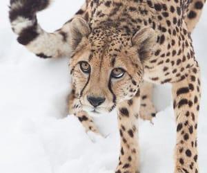 animal, chita, and animals image