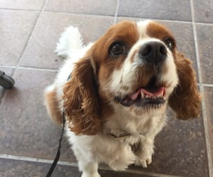 dog, cavalier, and puppy image