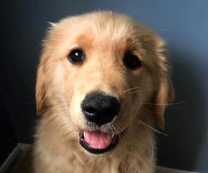 adorable, golden, and pet image