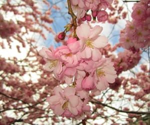 cherry, flowers, and sakura image