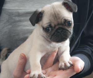 animals, baby, and pug image
