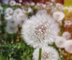 beautiful, dandelion, and flower image