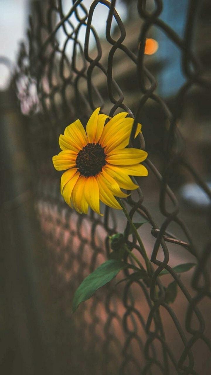 Bunga Matahari Shared By Hanna Arishaf On We Heart It
