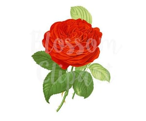 clipart, red rose, and rose print image