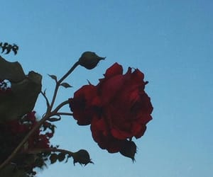 rose, moon, and red image