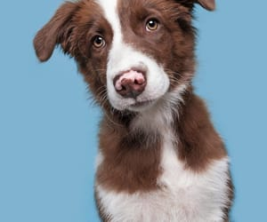 animals, puppies, and border collie image