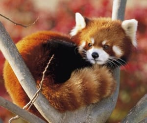 animal, cute, and Red panda image