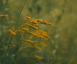 autumn, goldenrod, and original photography image