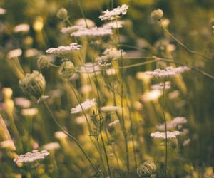 meadow, original photography, and wild carrot image