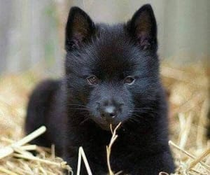 black and wolf image